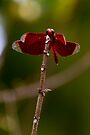 Bali Dragon Fly by Normf