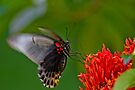Bali Butterfly 2 by Normf