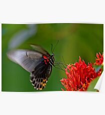 Bali Butterfly 2 Poster