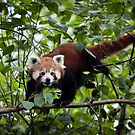 Red Panda by Manfred Belau