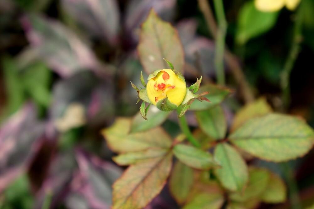 Buddy Yellow Rose by Manikandan