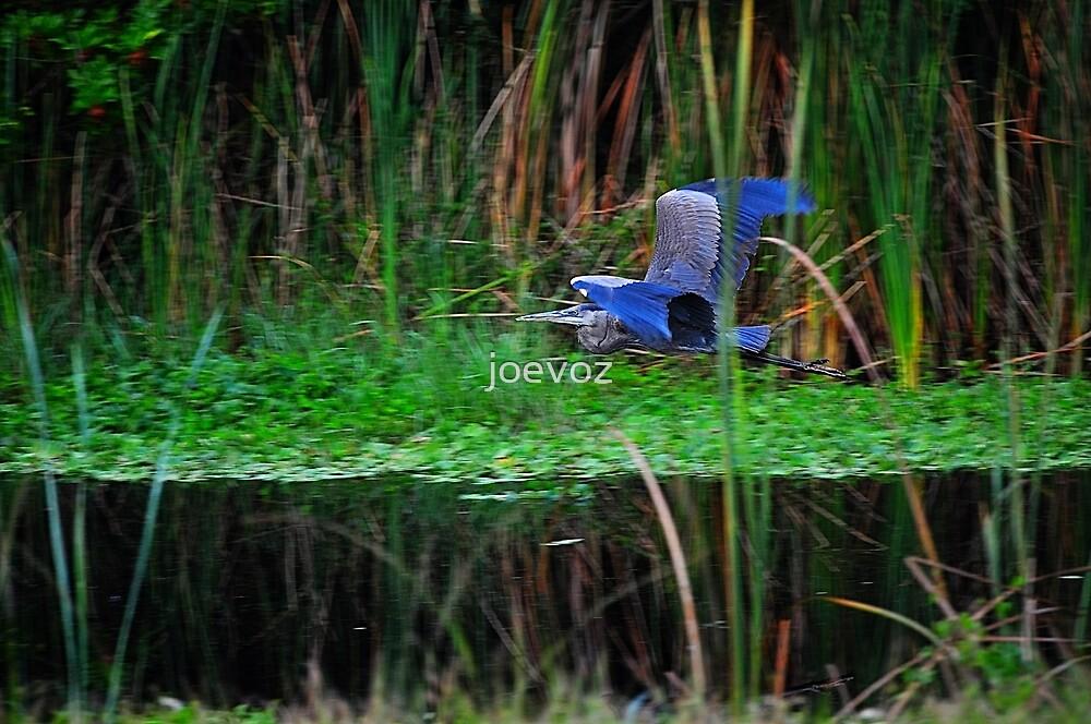 Blue Heron in Flight by joevoz