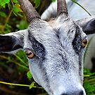 White Billy Goat  by joevoz