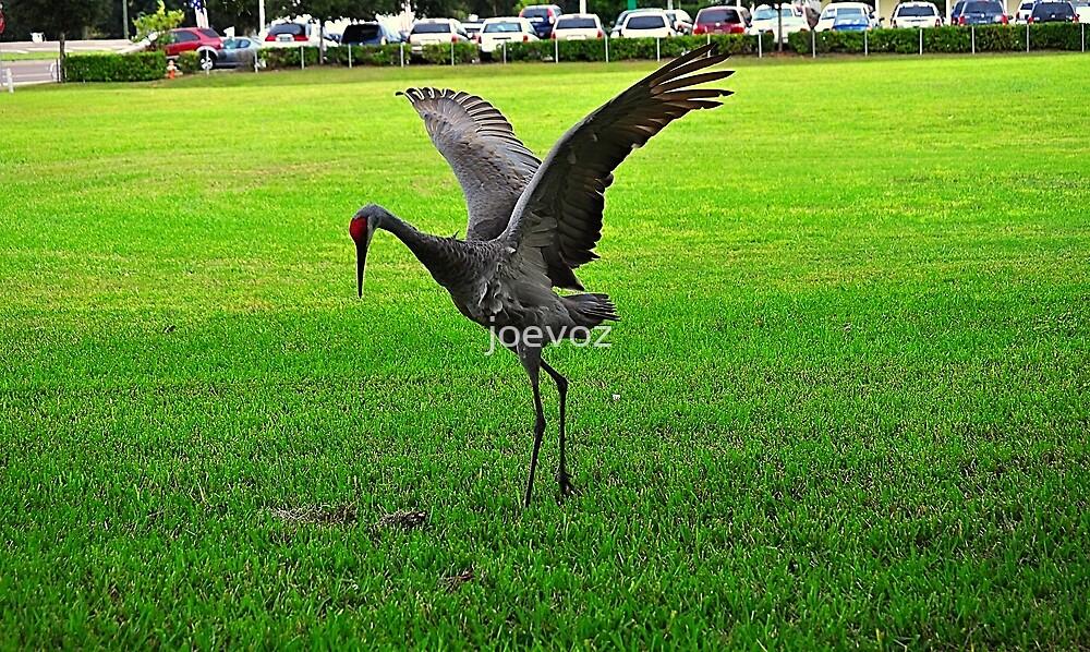 Sandhill Crane Dance by joevoz