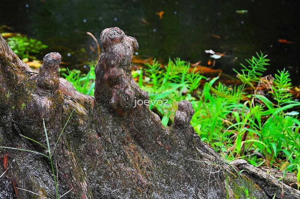 Cypress Knees by joevoz