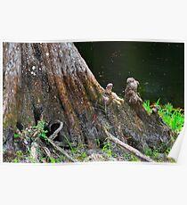 Big Cypress Tree Stump Poster