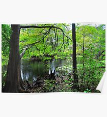 Swamp of Cypress Trees Poster