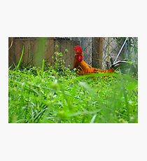 Wonderous Rooster Photographic Print