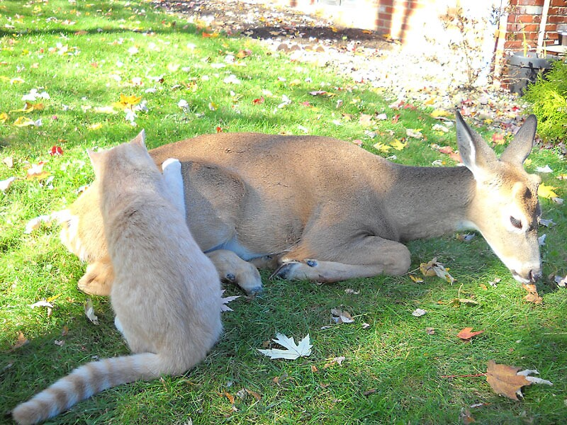 This deer  visit 's  cat every morning by Steve  Meader