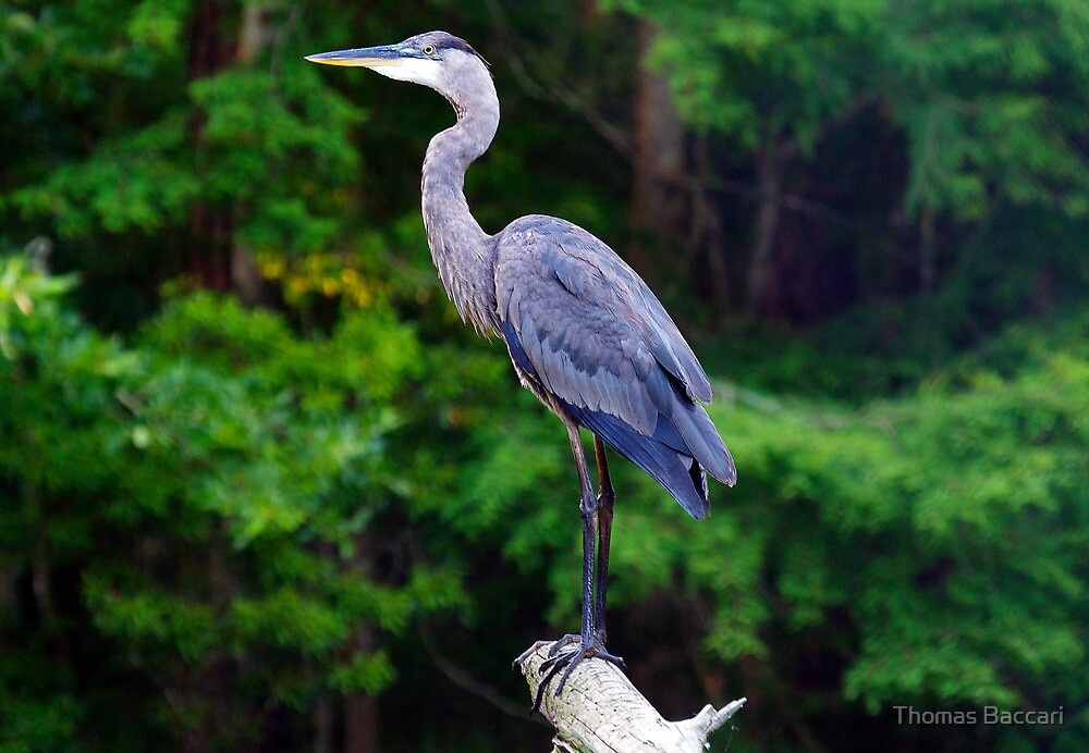 MR. MAJESTIC (Great Blue Heron) by TJ Baccari Photography