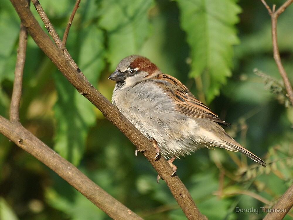 Sparrow by Dorothy Thomson