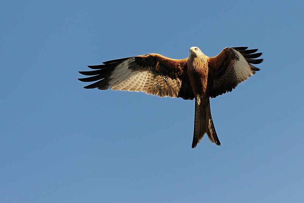 Red Kite by Owen Burke