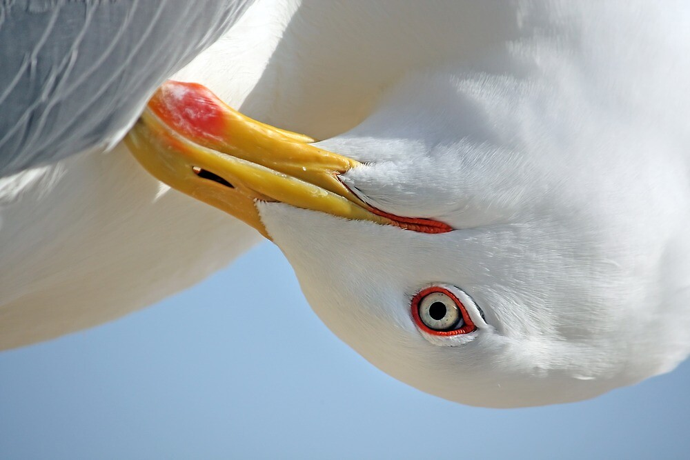 Seagull head by Mauro Rodrigues