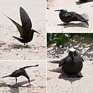 Black Noddy (_Anous minutus_) by tarnyacox