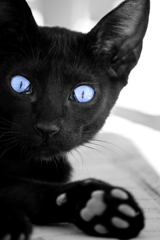 Black cat with blue eyes by Mauro Rodrigues