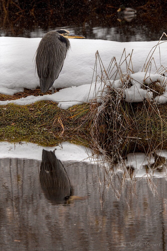GREAT BLUE HERON by Sandy Hill