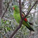 Red-winged parrot  by bowenite