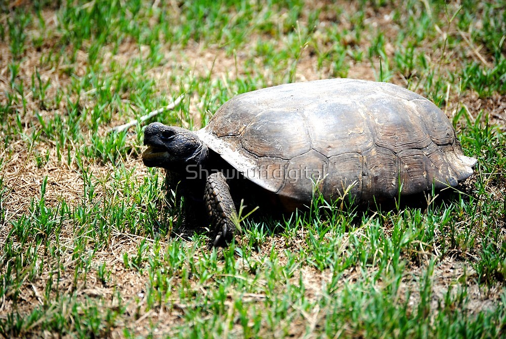 I am a tortise not a turtle by Shawnuffdigital