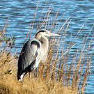 Great Blue Heron by Sharon Woerner