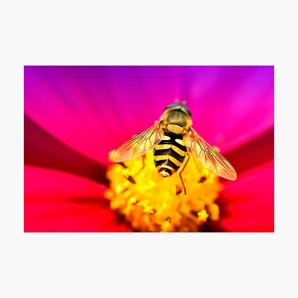 Flower feeding Hoverfly Photographic Print