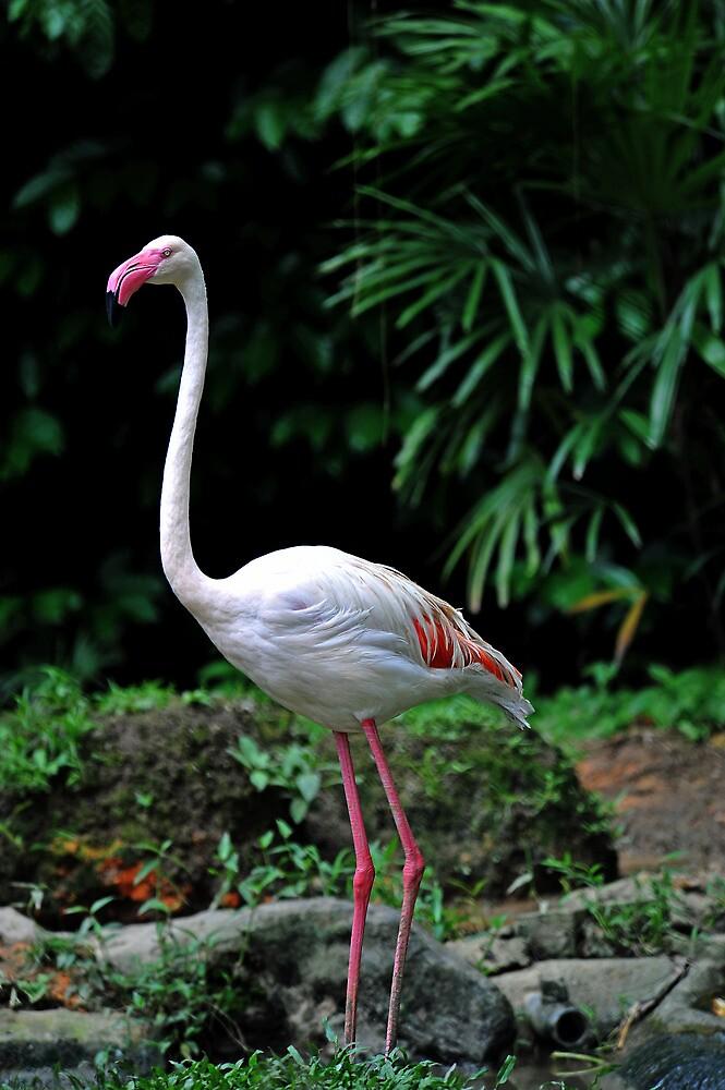 Greater Flamingo - Singapore by Ralph de Zilva