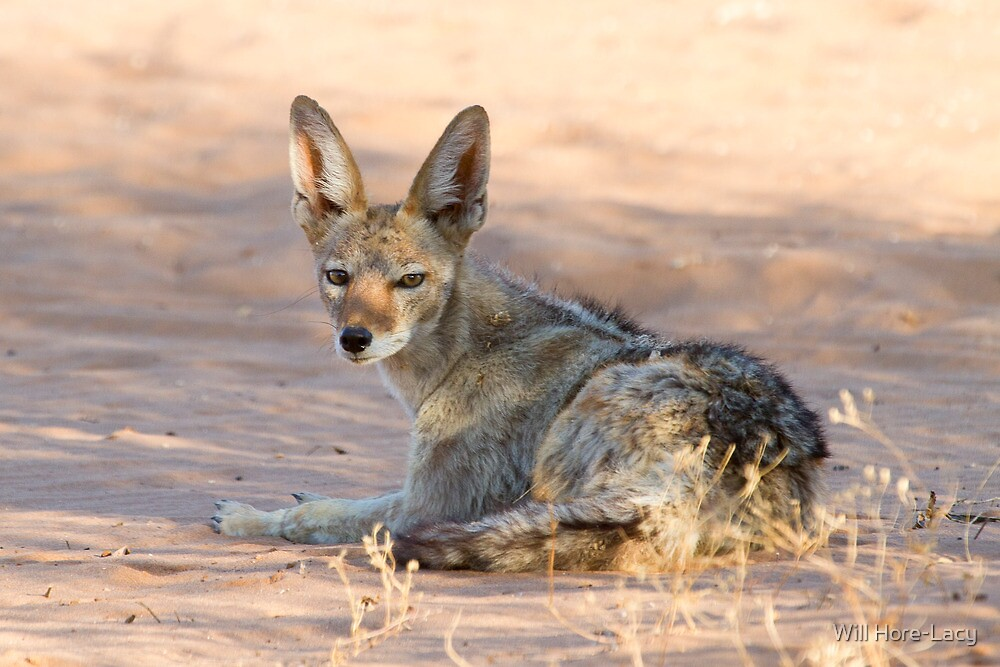 Black-backed Jackal by Will Hore-Lacy