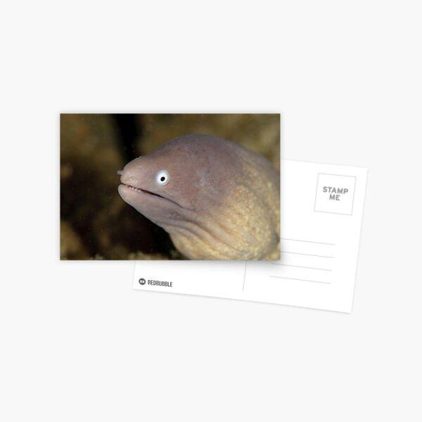 Greyface Moray - Siderea thyrsoidea Postcard