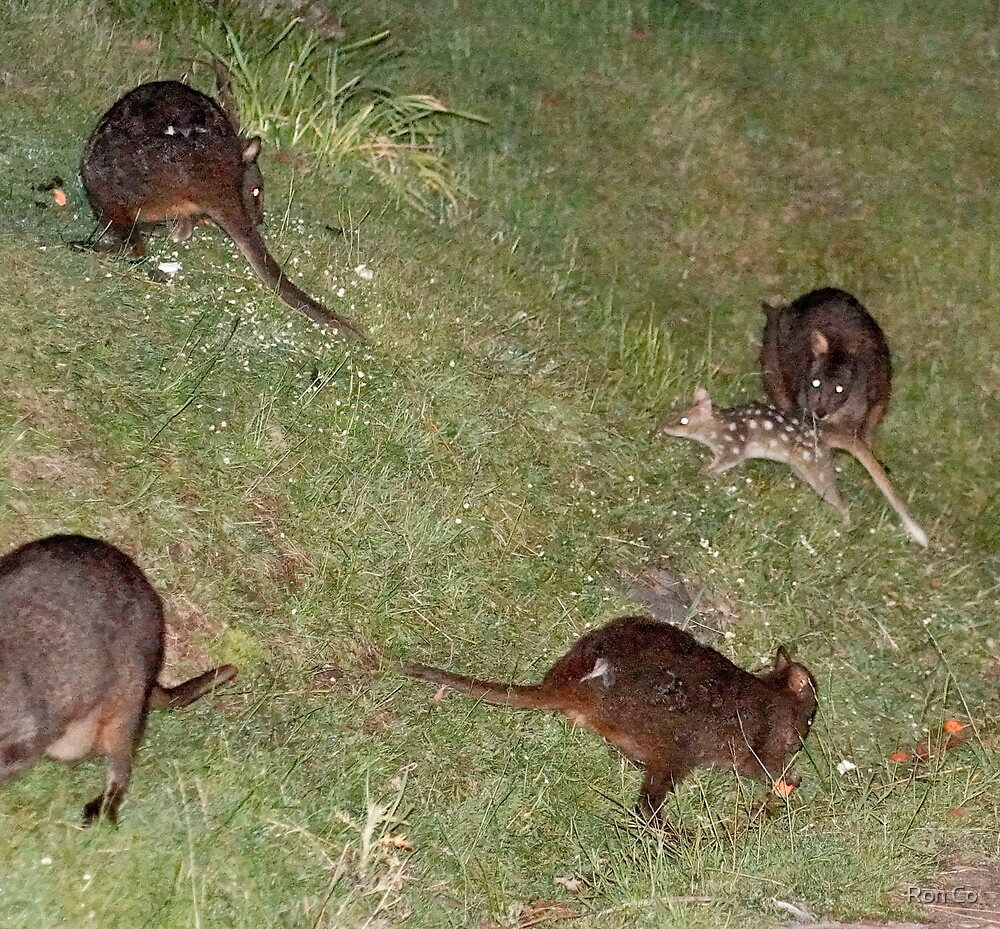 Group shot of Quoll and some Pademelons by Ron Co
