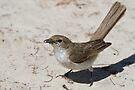 Kalahari Scrub-Robin by Will Hore-Lacy