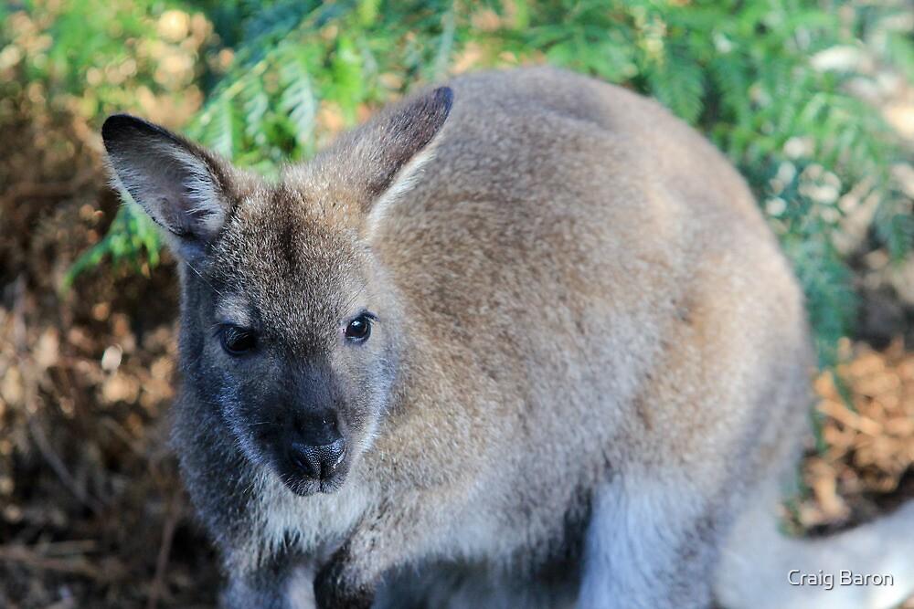 Wallaby by Craig Baron