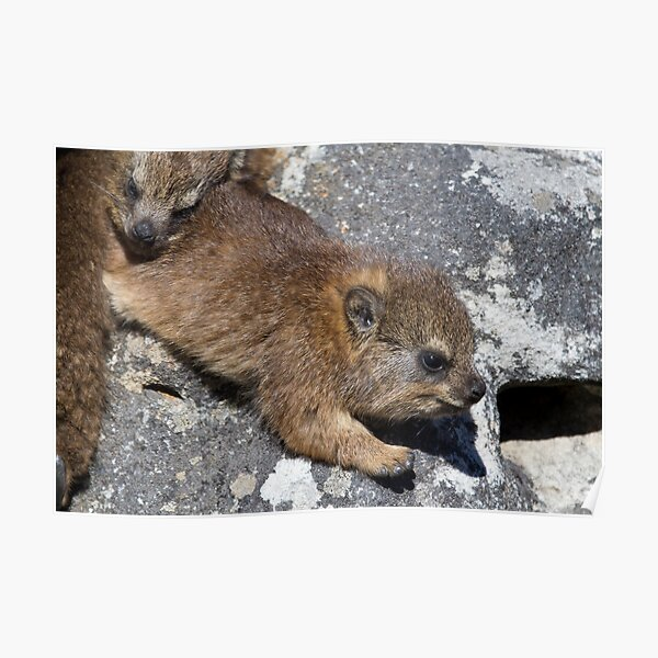 Young Dassie Poster