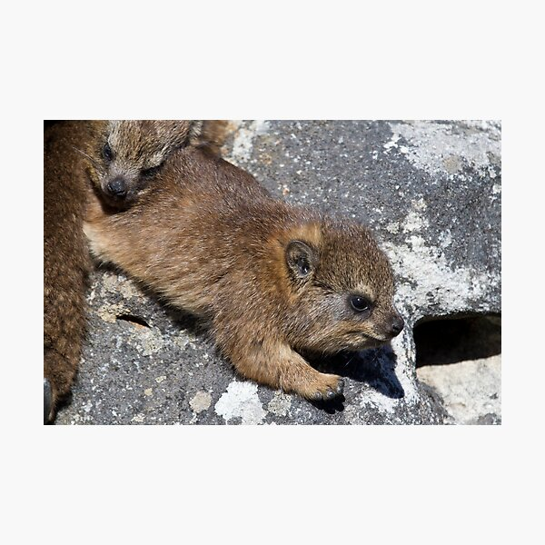 Young Dassie Photographic Print