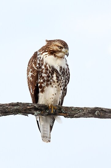 """Red Tailed Hawk Perched """"Red-tailed Hawk ..."""