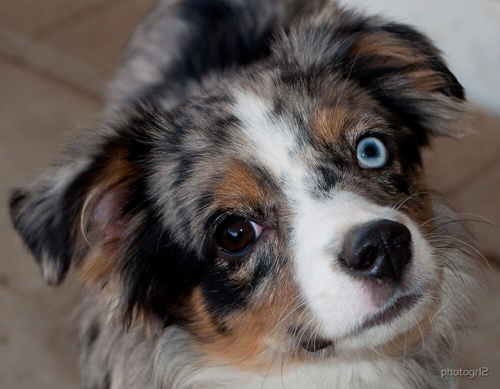 Miniature Australian Shepherd  by photogrl2