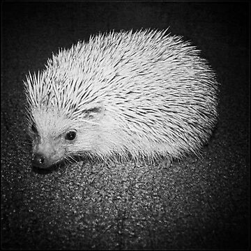 Champagne Hedgehog, Black and White by PhotosByTrish