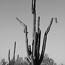 Saguaro Cactus Doing The Crane by Bo Insogna