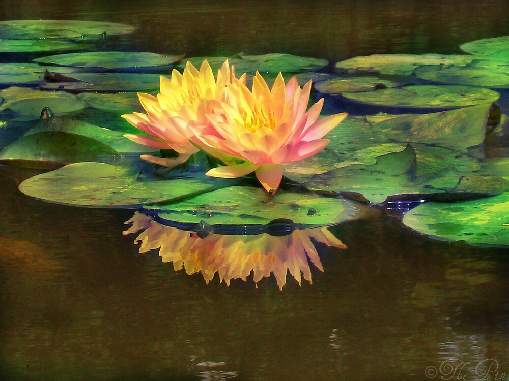 The Beauty of Water Lilies by saripin