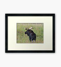Bull Moose in Colorado Framed Print