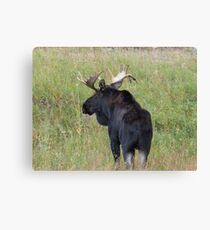 Bull Moose in Colorado Canvas Print