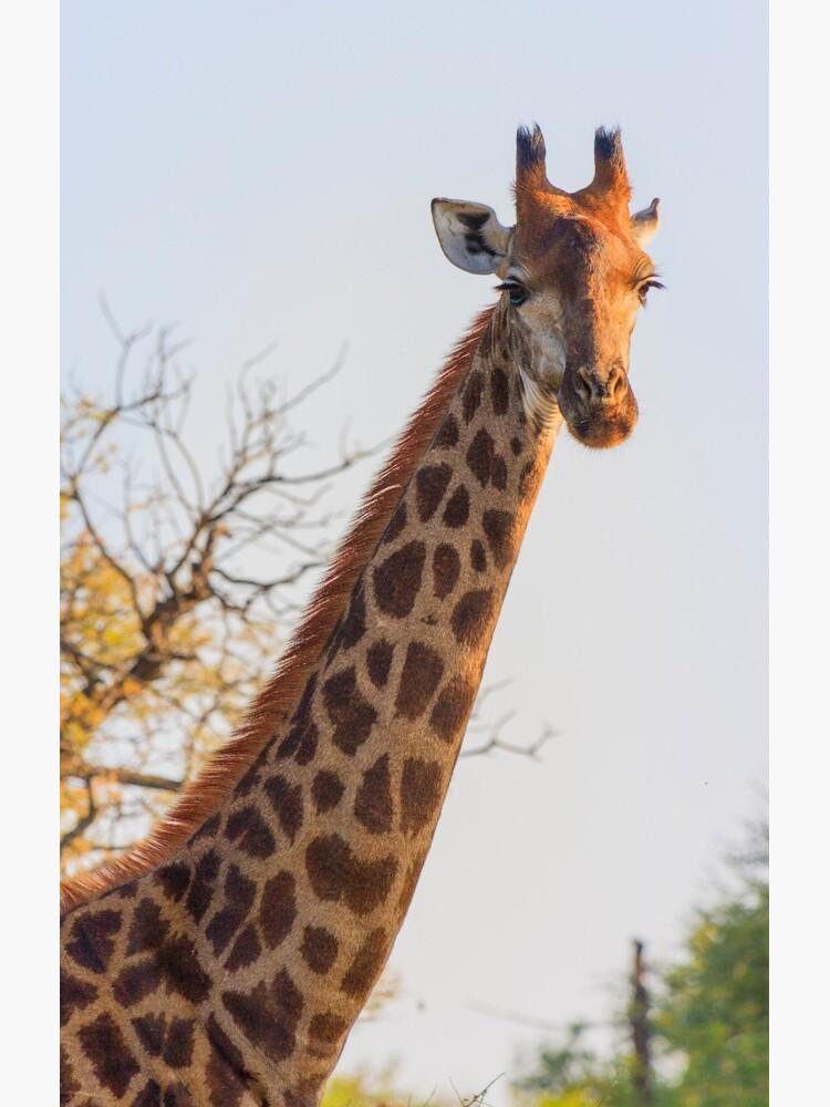 Early Morning Giraffe Portrait by petrusb22