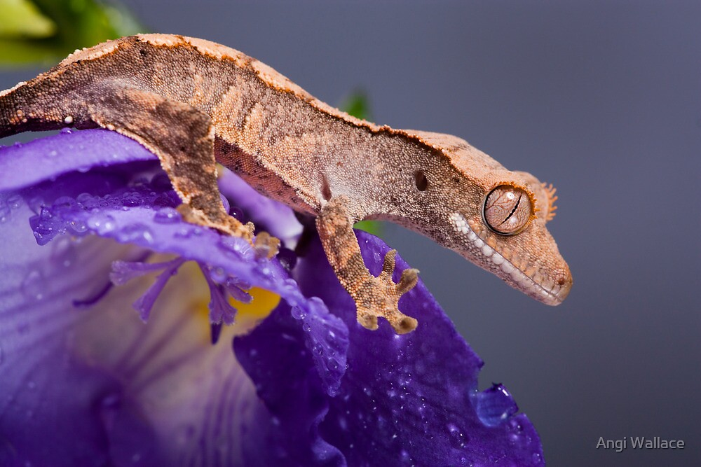 Cute crested gecko on purple by Angi Wallace