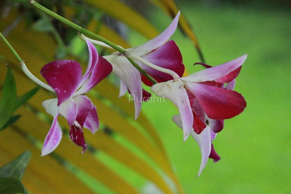 Orchids by Purohit