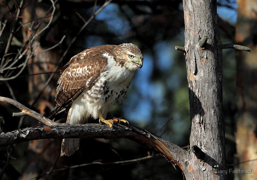 After Dinner  / Juvenile Red Tailed Hawk by Gary Fairhead