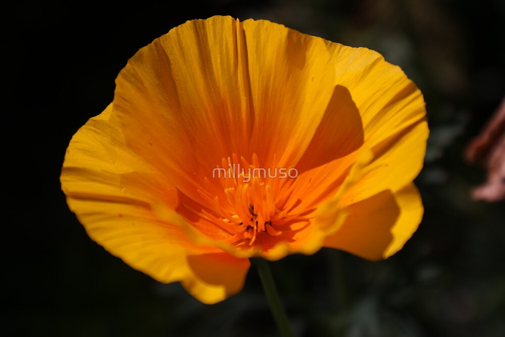 Calafornian poppy2 by millymuso
