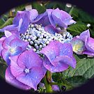 Beautiful Blue Blossom - Lace Cap Hydrangea by Kathryn Jones