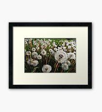 Middle of Summer. White dandelions Framed Print