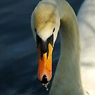 Mute Swan, River Ouse, Olney, UK by strangelight