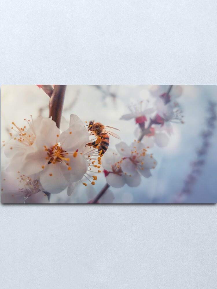 Alternate view of honey bee on apricot flowers Metal Print