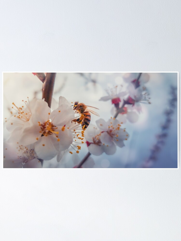 Alternate view of honey bee on apricot flowers Poster