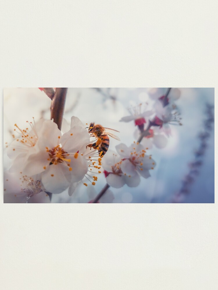Alternate view of honey bee on apricot flowers Photographic Print
